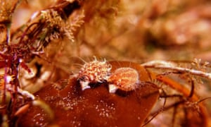 Juvenile queen scallops attached to kelp in the the Lamlash Bay no-take zone.