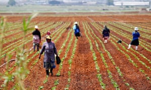 Farm workers in a field at a farm in Klippoortie, east of Johannesburg.