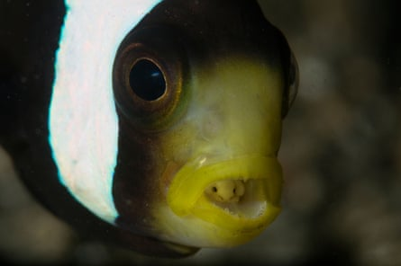 Saddleback clownfish (Amphiprion polymnus) with a tongue-eating louse (Cymothoa exigua), seen in Lembeh Strait, Bitung, Indonesia.