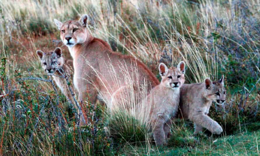 Pumas in Chile's Magallanes region