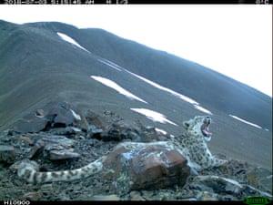 A leopard on Kuraisky ridge taken with a camera trap.