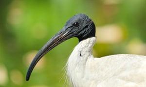 An Australian white ibis in Sydney