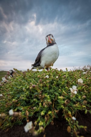 An Atlantic puffin stood among sea campion flowers at the Wick, a sheer cliff carved with ledges, on Skomer Island, Pembrokeshire, Wales