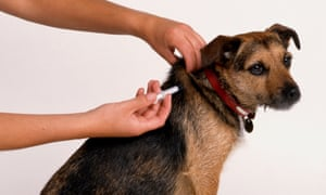 A small dog receiving an injection.
