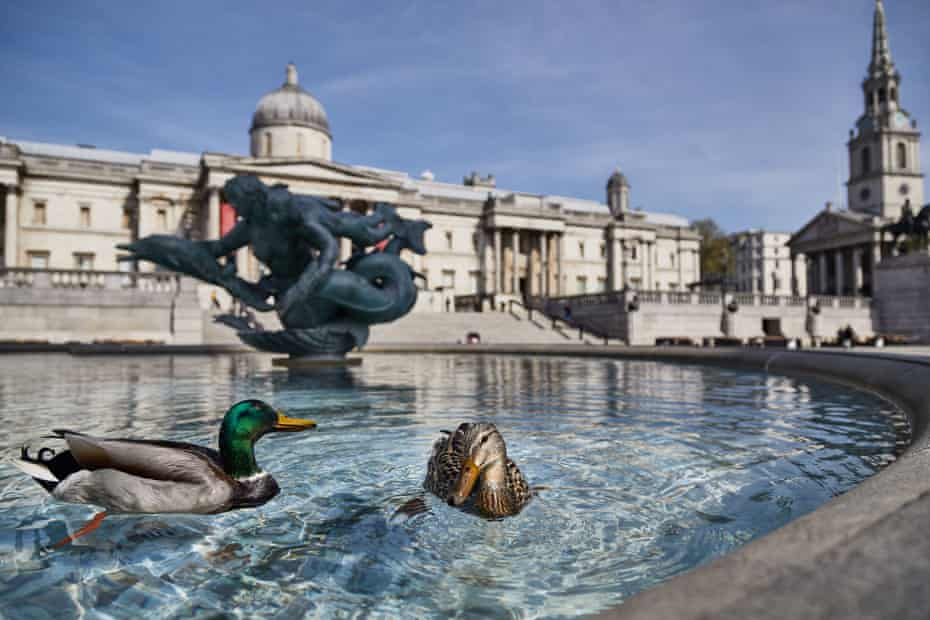 Ducks in the fountains almost outnumber people on London's Trafalgar Square, 15 Apr 2020.