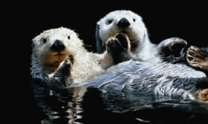Title:      Sea otters (Enhydra lutris) in water, USA Image #:   963454-001 License type:   Rights-managed Photographer:   John Warden Collection:   Stone