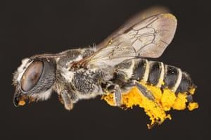 The female leaf-cutter bee with pollen she has collected