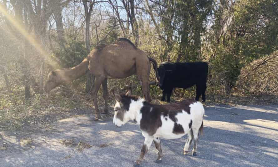 The camel, donkey and cow were found roaming together along a road near Goddard, Kansas, last month.