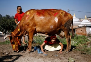 A Hindu priest attempts to crawl under a cow during a religious ceremony in Kathmandu, Nepal