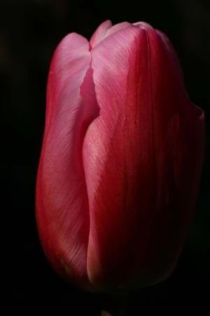 A close-up of the tulip variety Christmas Dream, 10 April