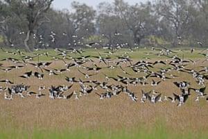 A mass of black-winged stilts