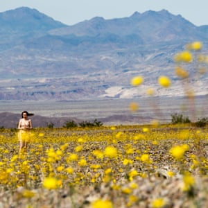 A visitor in a field of desert gold wildflowers carpeting Death valley, California, in this very rare spring super bloom