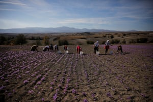 Members of the Patsiouras family harvest saffron flowers at their field in Krokos, Greece