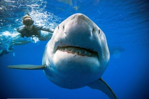 A great white shark said to be Deep Blue, one of the largest recorded individuals, swims off Hawaii, US