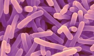 Bifidobacteria, found in the gut.