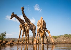 Three giraffes at waterhole. John Birch, runner-up A giraffe stoops to drink at the Umgodi waterhole (South Africa) while two others stand sentry, maybe! The perspective is exaggerated by the proximity of the drinking giraffe and use of a wideangle lens.  PAUL GOLDSTEIN, JUDGE: Ahead by a neck – this sort of image has become common now and can be a one-trick pony, or in this case giraffe. However, this is excellent: three males captured in fairly average light but, critically, in alluring poses, with separation.
