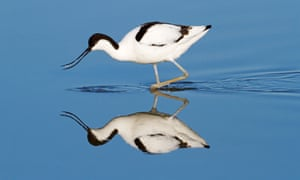 A wading avocet at Minsmere.