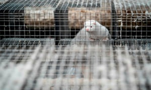 A mink looks out from its cage at the farm of Henrik Nordgaard Hansen and Ann-Mona Kulsoe Larsen as they have to kill off their herd, which consists of 3000 mother mink and their cubs on their farm near Naestved, Denmark, on 6 November 2020.