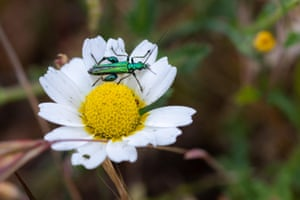 A false oil beetle or thick-legged flower beetle (Oedemera nobilis) in its natural environment, on a daisy in Spain
