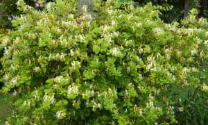 Lonerica japonica 'Halliana'.