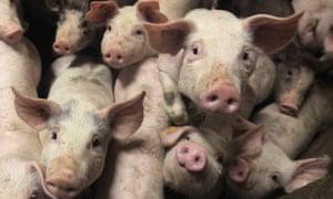 Pigs in a pen on a farm