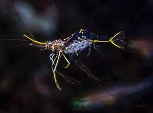 The fragile Degrave's cleaner shrimp