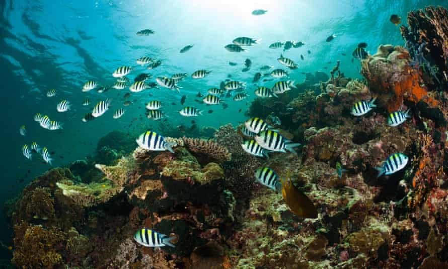 Damselfish schooling above a reef, Menjangan, Bali, Indonesia.