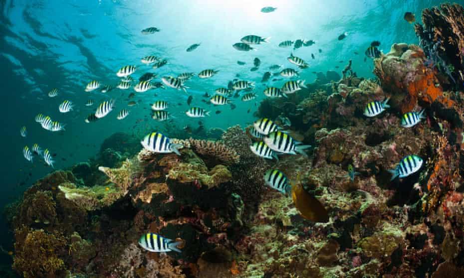 Sergeant major damselfish above a reef, Menjangan, Bali, Indonesia.