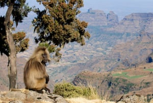 an adult Gelada baboon in Simien Mountains National Park, Ethiopia
