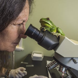 Deborah Pergolotti at work in the Cairns frog hospital last week under the watchful eye of a white-lipped tree frog, which has a damaged right eye and water retention.