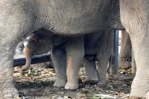 A baby elephant stands under its mother on Thailand's national elephant day