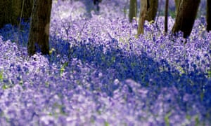 Bluebells have 'no choice but to return each year.'