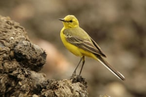 A yellow wagtail