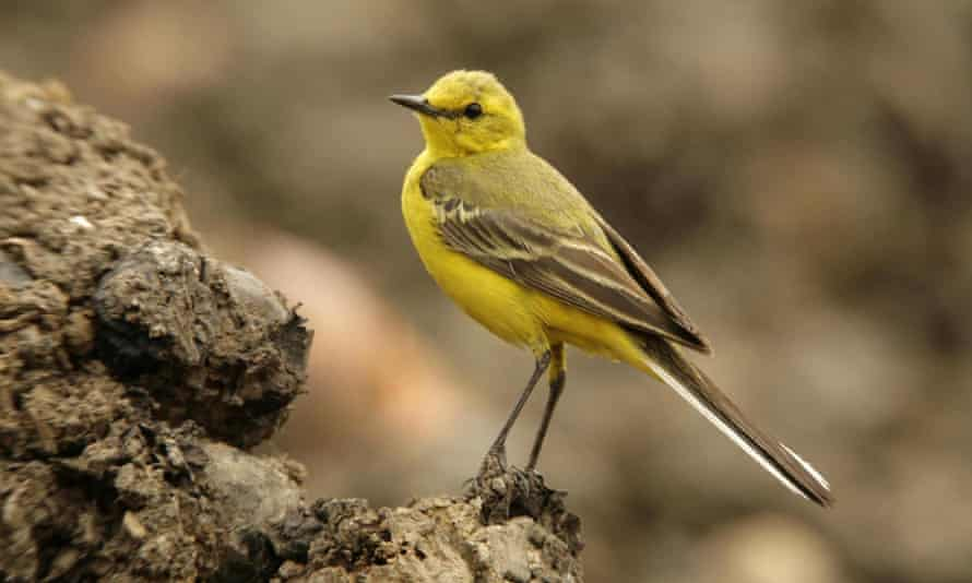 'An effing canary': a yellow wagtail