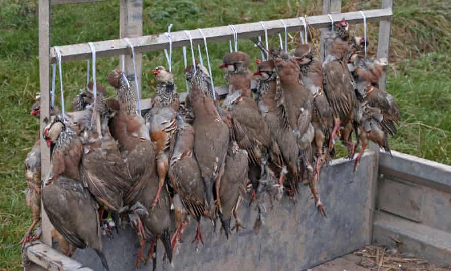 Shot red-legged partridges, Staffordshire, England