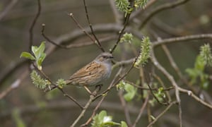 Dunnock perched on a willow tree
