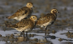 Golden plovers in Germany.