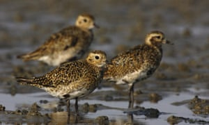 Golden plover at Wadden Sea national park in Germany