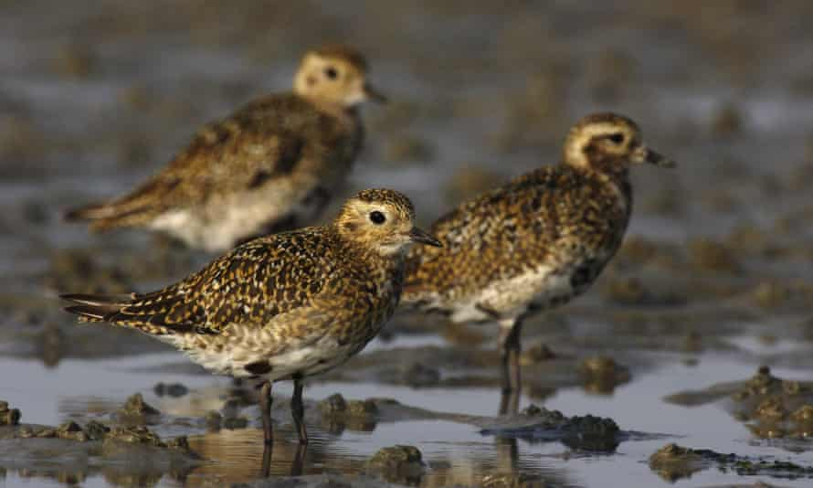Golden Plover (Pluvialis apricaria) in the Wadden Sea national park, Schleswig-Holstein, Germany.