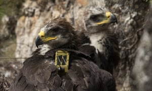 A pair of GPS-tagged golden eagle chicks