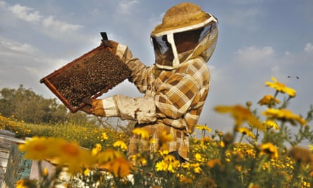 A beekeeper inspects a rack of honeybees, which produce royal jelly.
