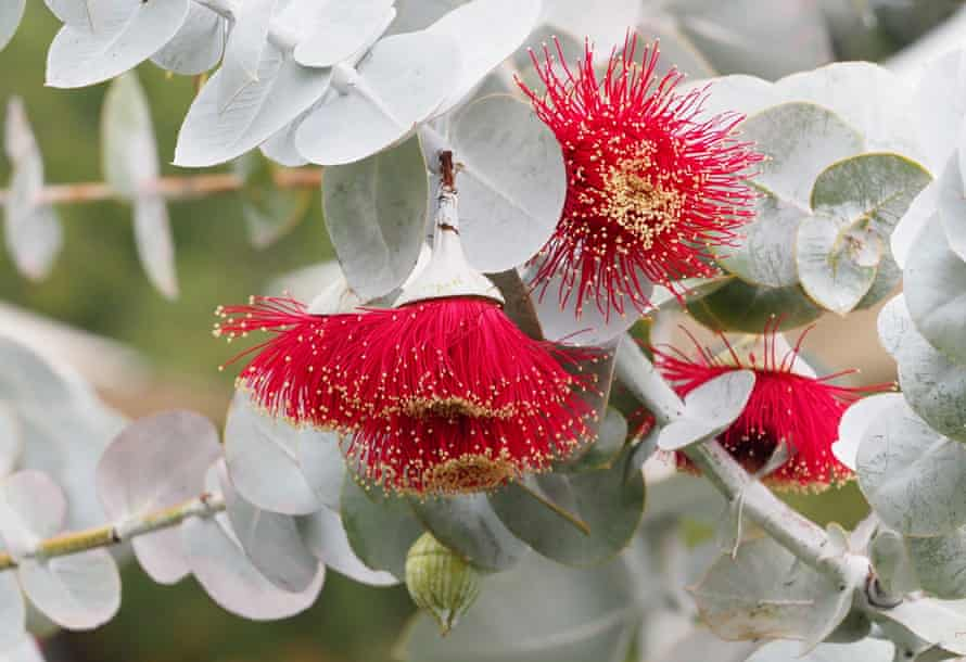 A Rose Mallee, eucalypt.