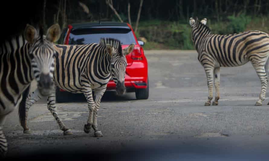 zebras at a safari park