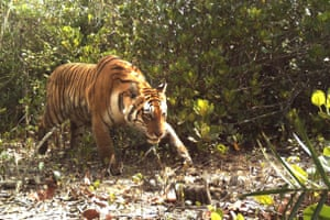 Tiger habitat in the Sundarbans could become completely flooded.