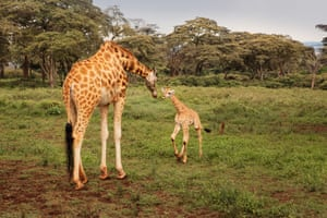 Toward the end of last year the 14-year-old giraffe, Kelly, gave birth to a baby boy. The as of yet unnamed new-born is Kelly's third calf at the centre.