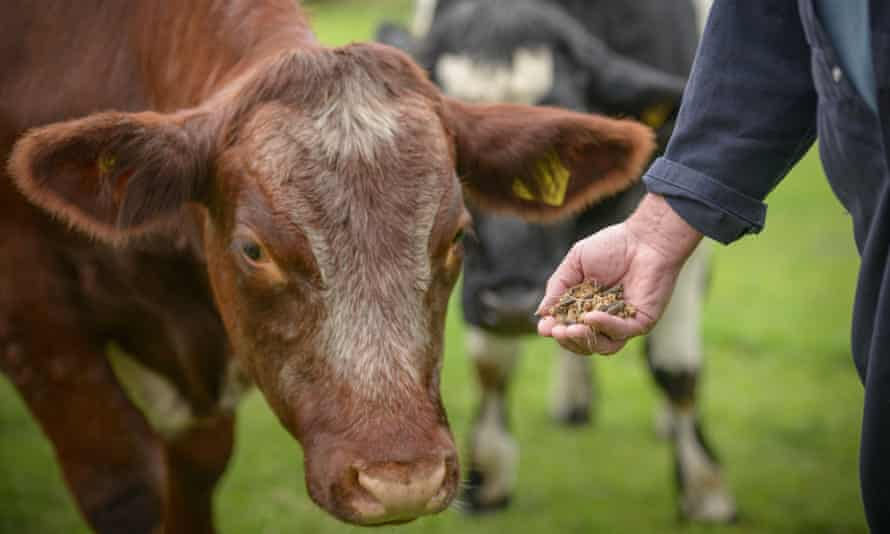 A farmer feeds a cow with GM food supplement.