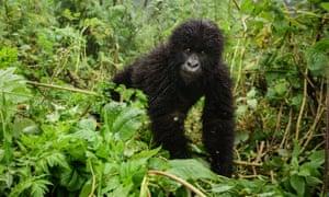 A young mountain gorilla