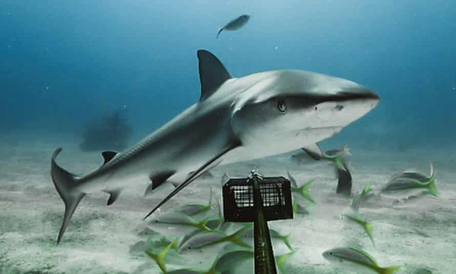 Unsustainable fishing has devastated shark numbers across the world's coral reefs.