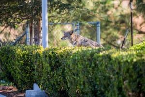 A recent study found that coyotes are becoming more prevalent in urban areas, finding them in 96 out of 105 cities surveyed.