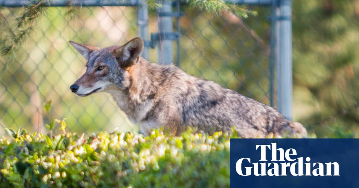 'Protect your pets': cats make up one-fifth of coyotes' diet in Los Angeles